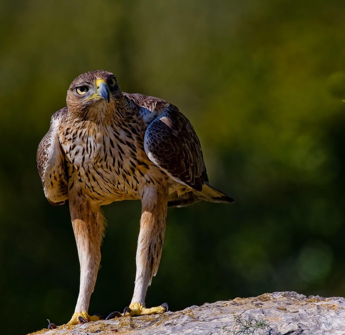 Aguila Perdicera